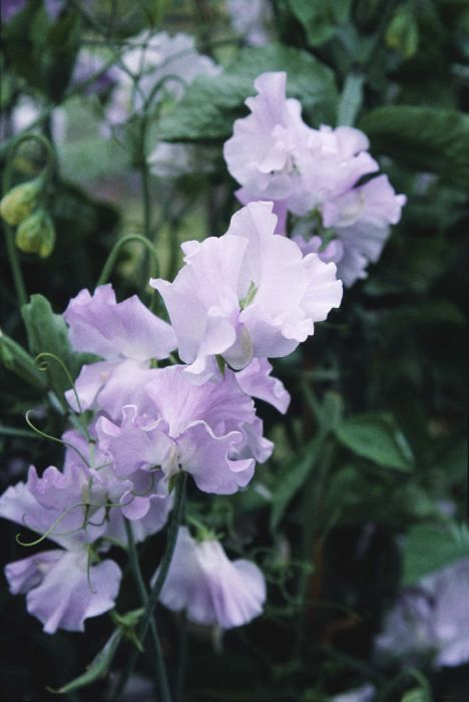 sweet pea 'Isabella Cochrane'