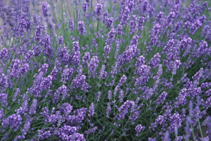 English lavender 'Beechwood Blue'
