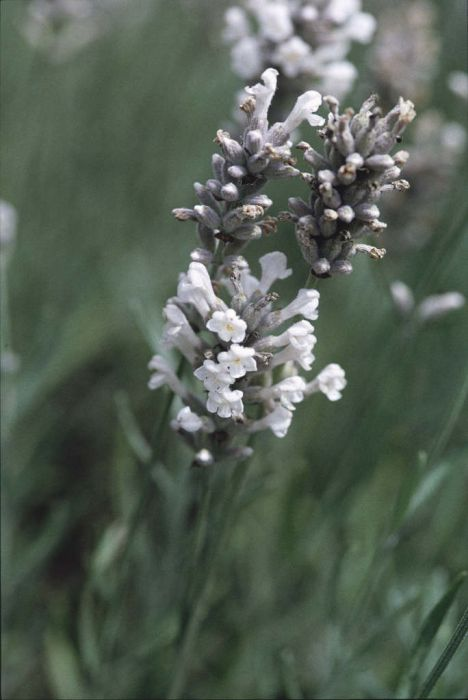 English lavender 'Wendy Carlile'