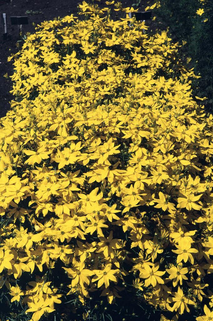 tickseed 'Grandiflora'