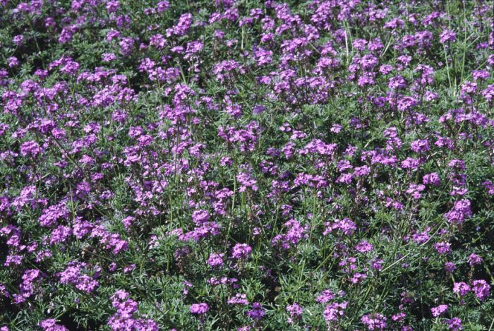 vervain 'Moon River'