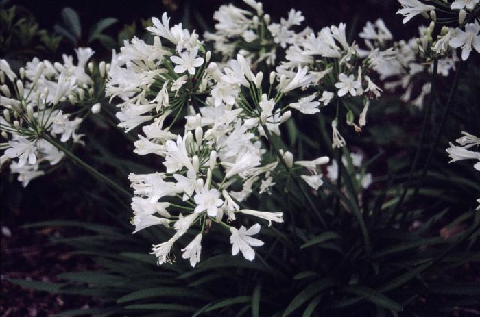 white African lily [misapplied]