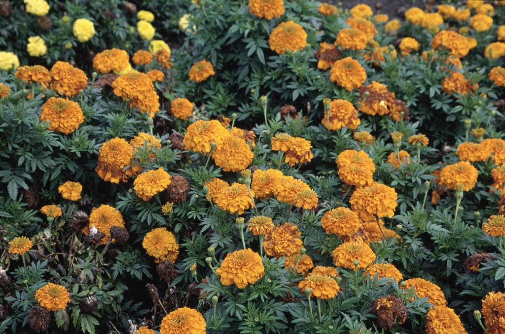 African marigold [Inca I Orange]