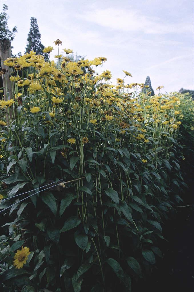 sunflower 'Gullick's Variety'