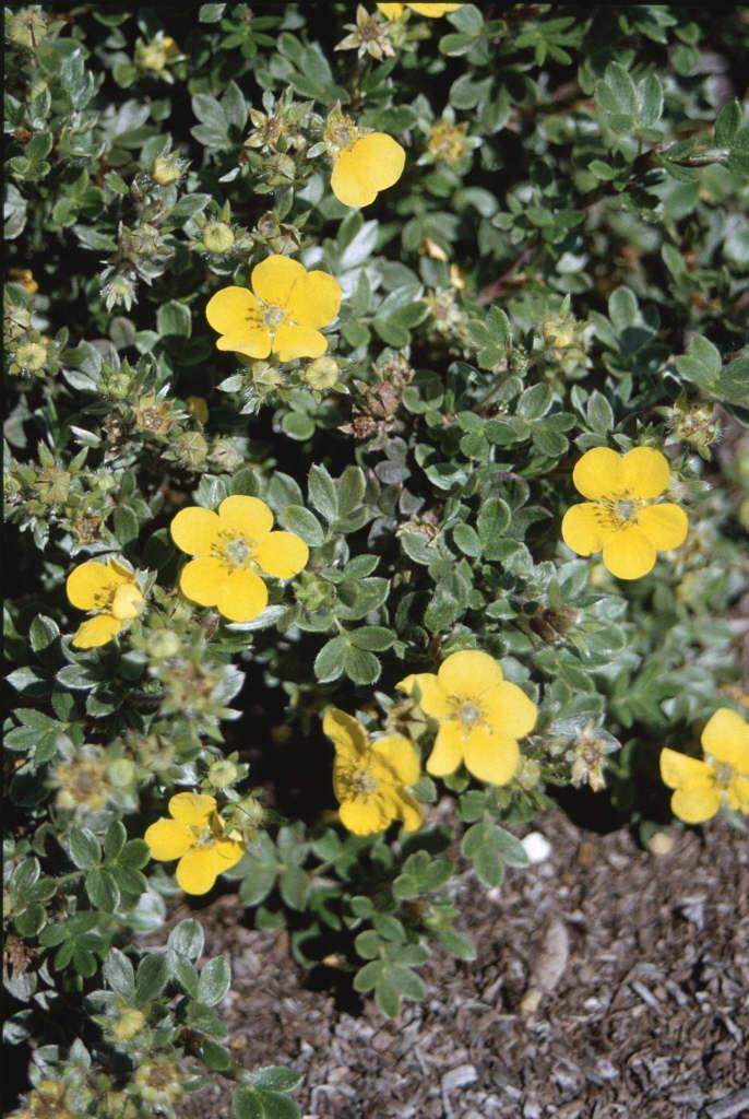 shrubby cinquefoil 'Beesii'