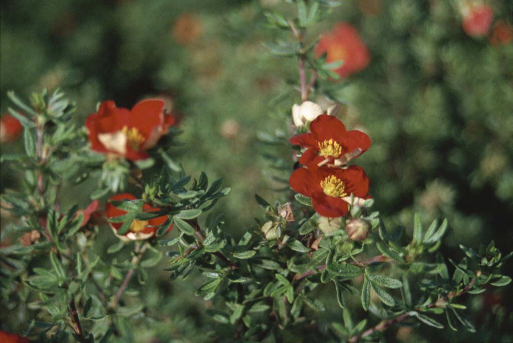 shrubby cinquefoil Marian Red Robin