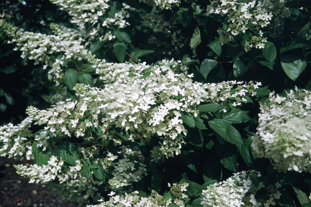 hardy white-flowered hydrangea
