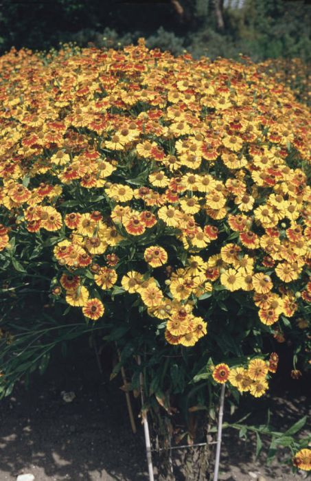 sneezeweed 'Ring of Fire'