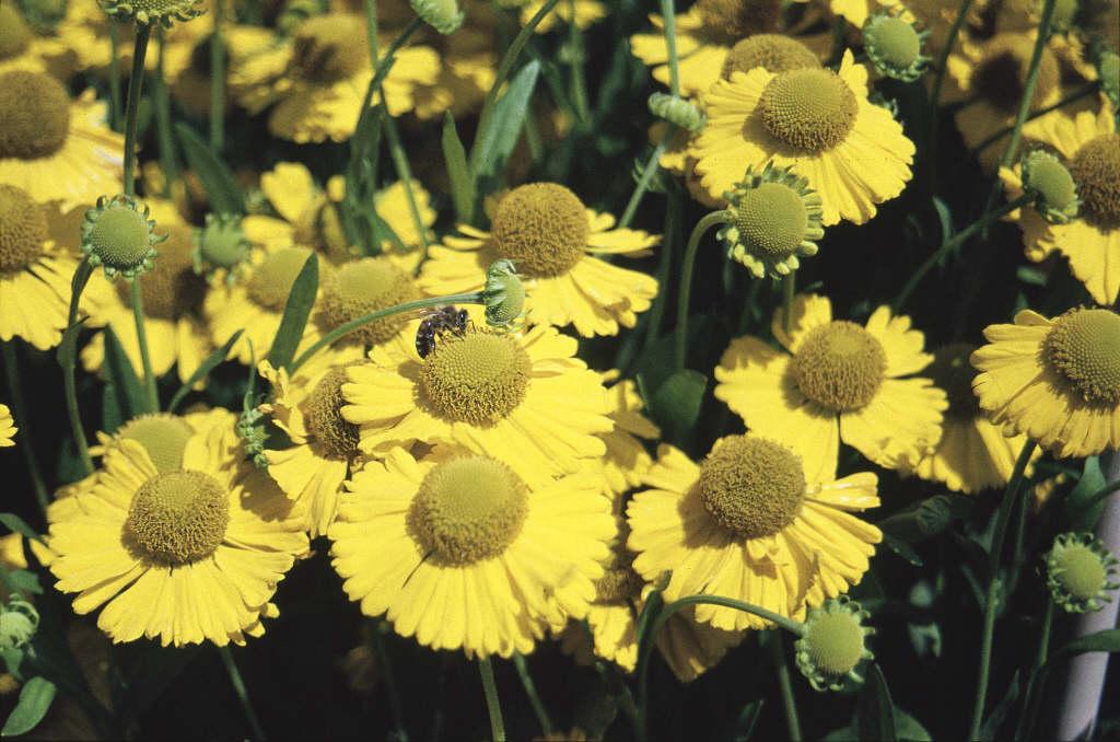sneezeweed 'Butterpat'