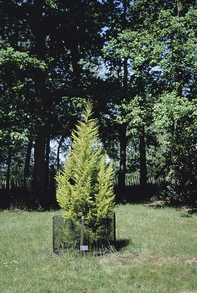 Monterey cypress 'Goldcrest'