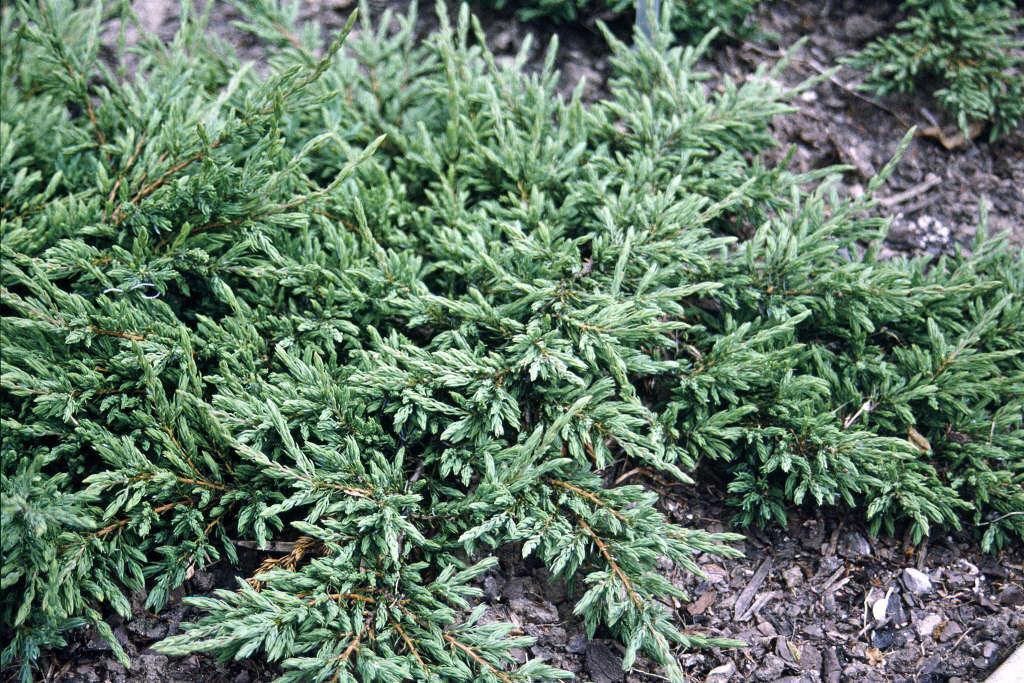 juniper 'Repanda'