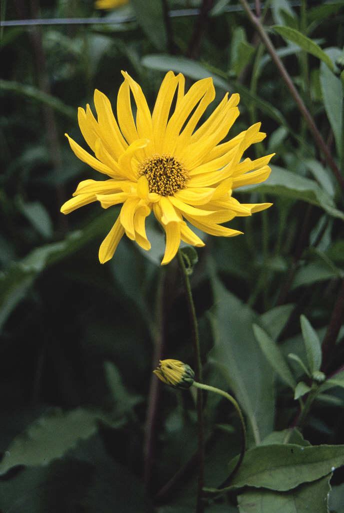 sunflower 'Miss Mellish'
