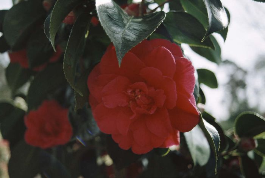 camellia 'Grand Slam'