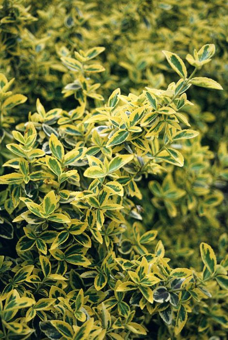 spindle 'Emerald 'n' Gold'