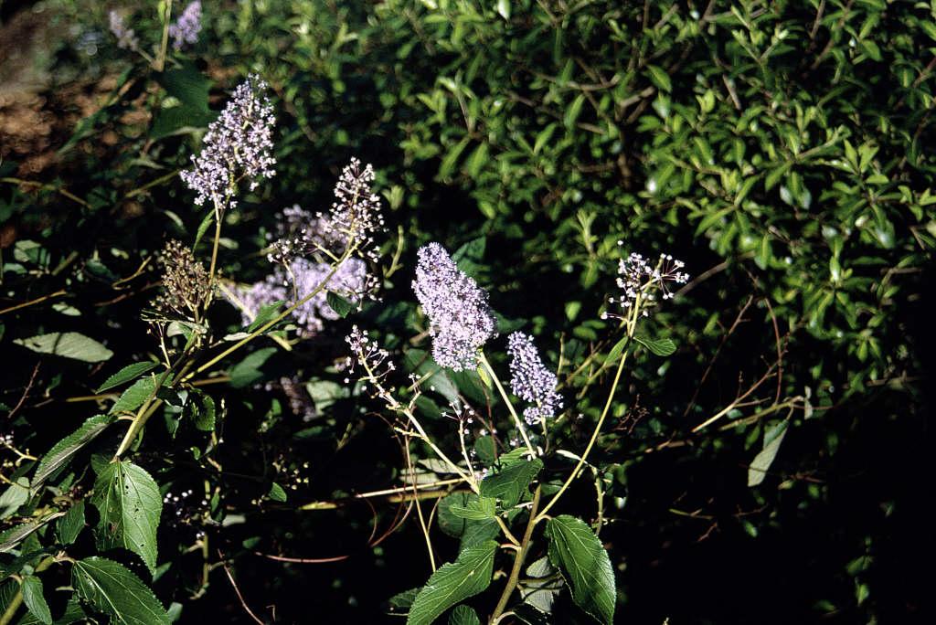 Californian lilac 'Topaze'