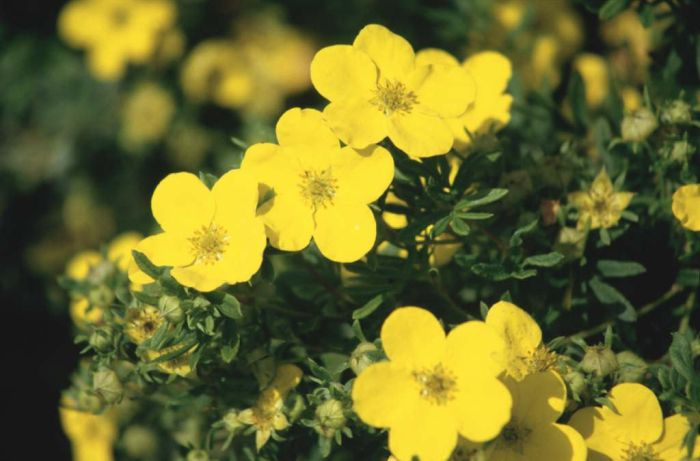 shrubby cinquefoil 'King Cup'