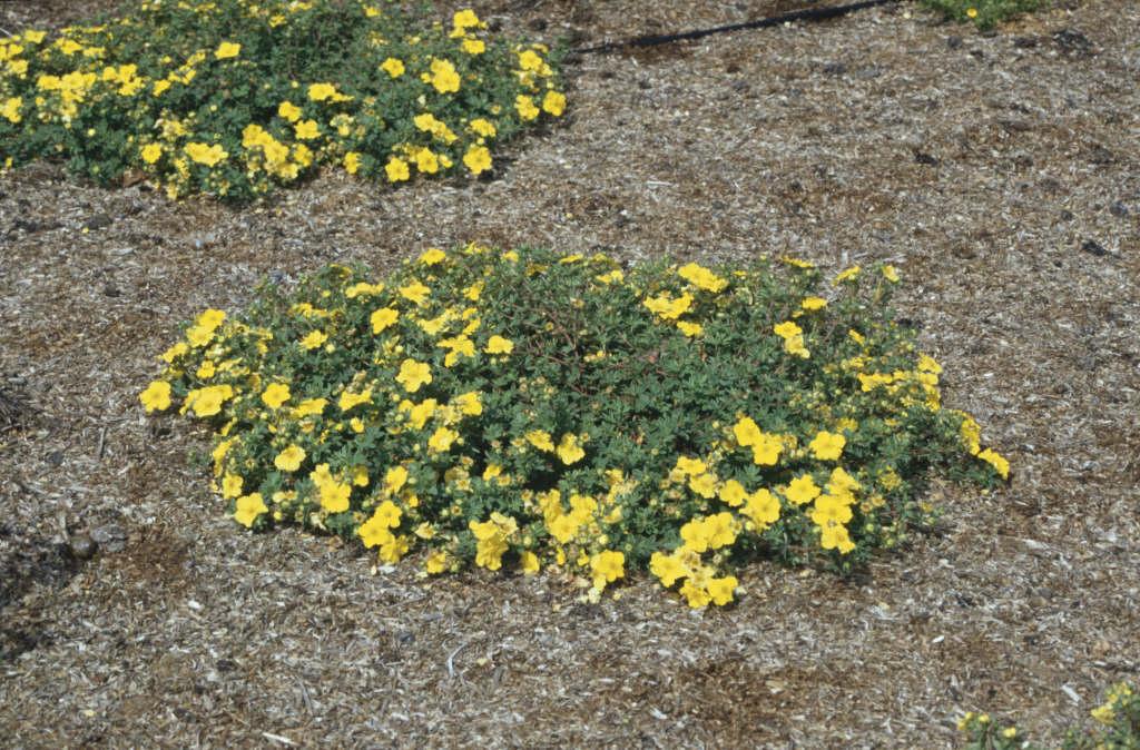 shrubby cinquefoil 'Medicine Wheel Mountain'
