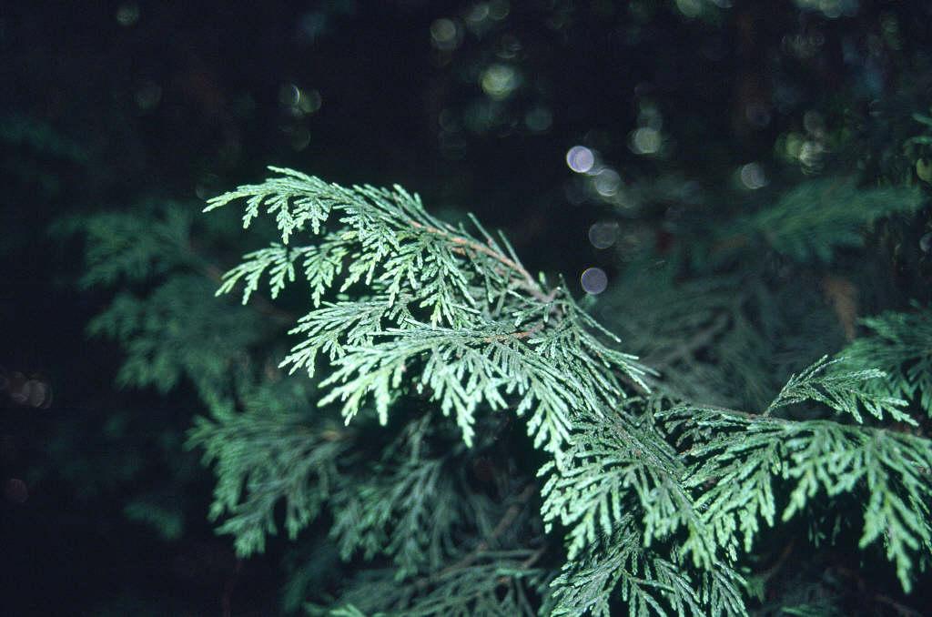 Leyland cypress 'Robinson's Gold'