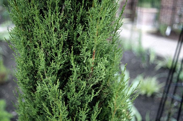 Cupressus sempervirens Stricta Group | Italian cypress Stricta Group ...