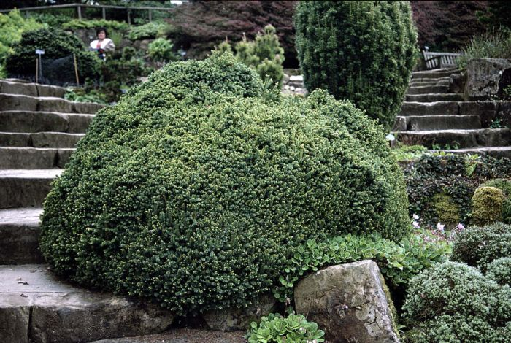 dwarf black spruce