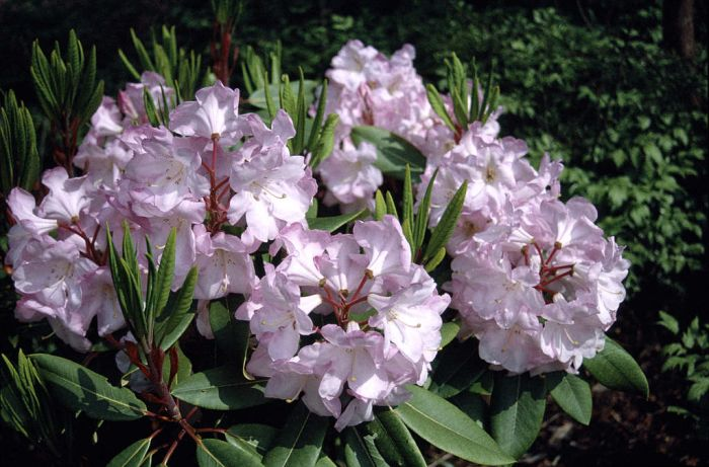 rhododendron 'Faggetter's Favourite'