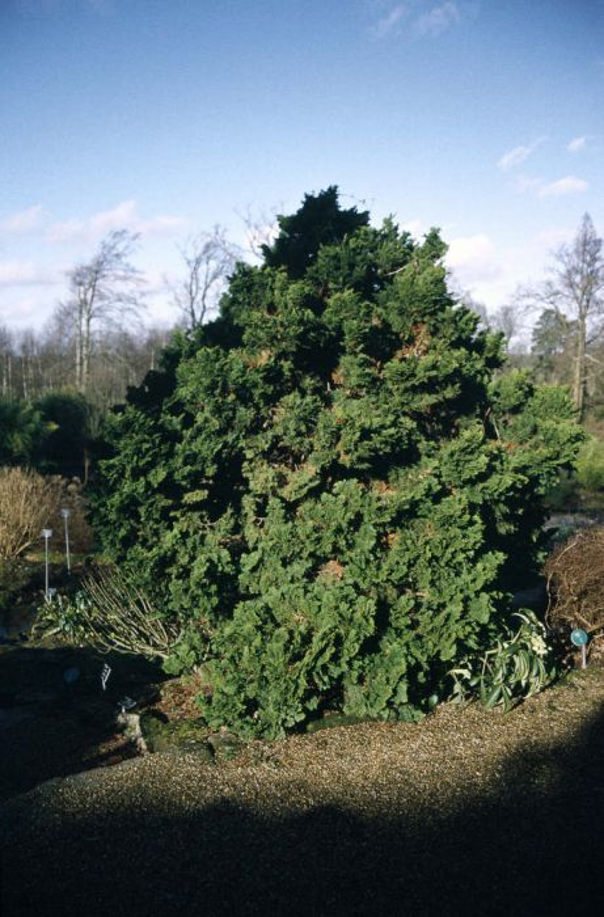 Hinoki cypress 'Nana Gracilis'
