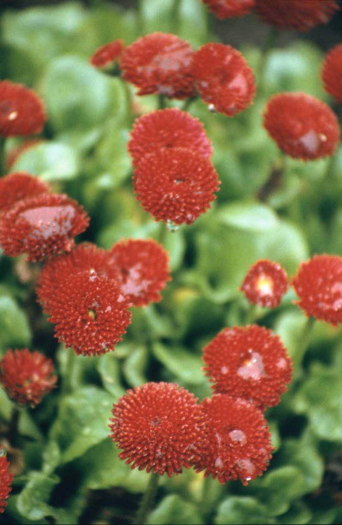 daisy 'Romi Red'
