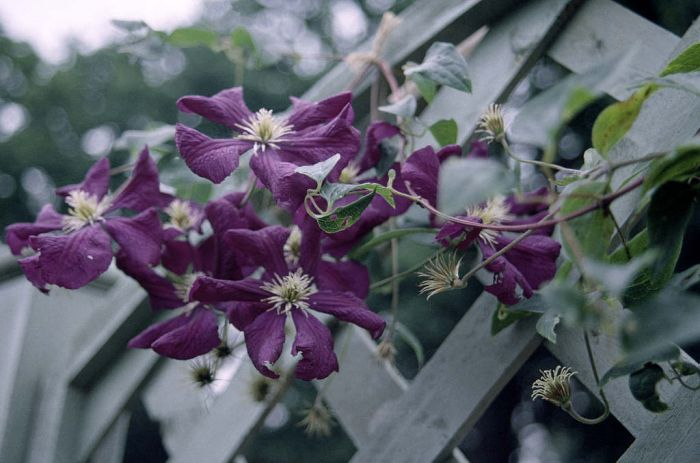 clematis '&#233toile Violette'