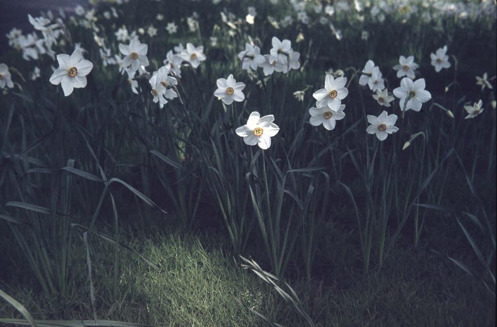 daffodil 'Actaea'