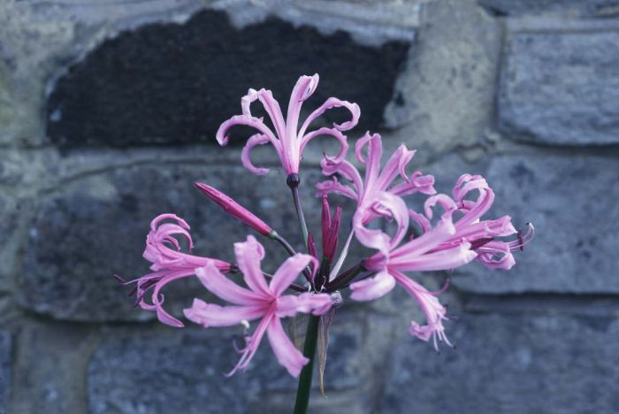Bowden Cornish lily