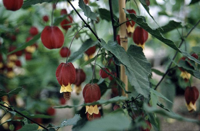 trailing abutilon