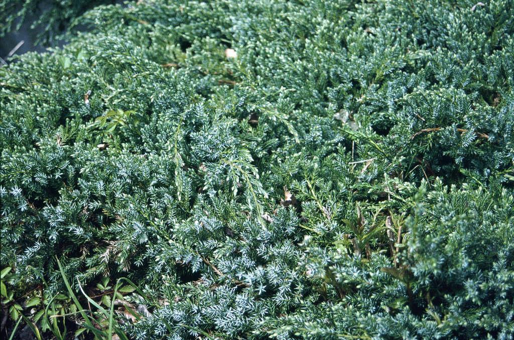 flaky juniper 'Blue Carpet'