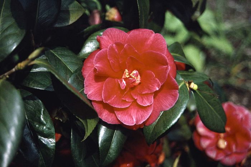 camellia 'Mercury'