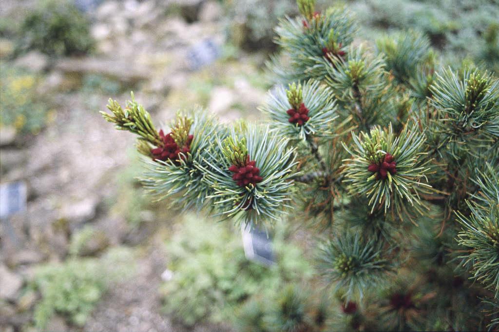 glaucous dwarf Siberian pine