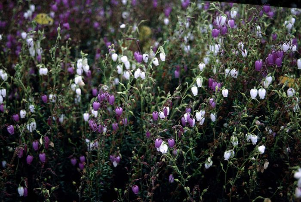 Irish heath 'Bicolor'