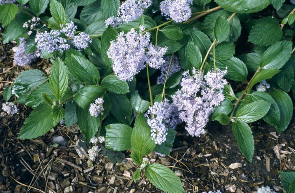 Californian lilac 'Gloire de Versailles'