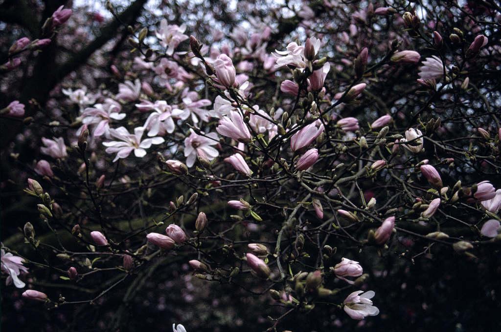 Magnolia X Loebneri Leonard Messel Magnolia Leonard Messelrhs