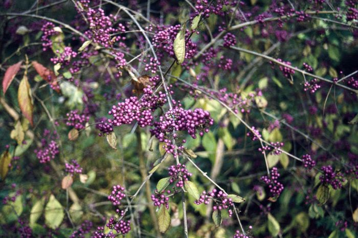 beautyberry 'Profusion'