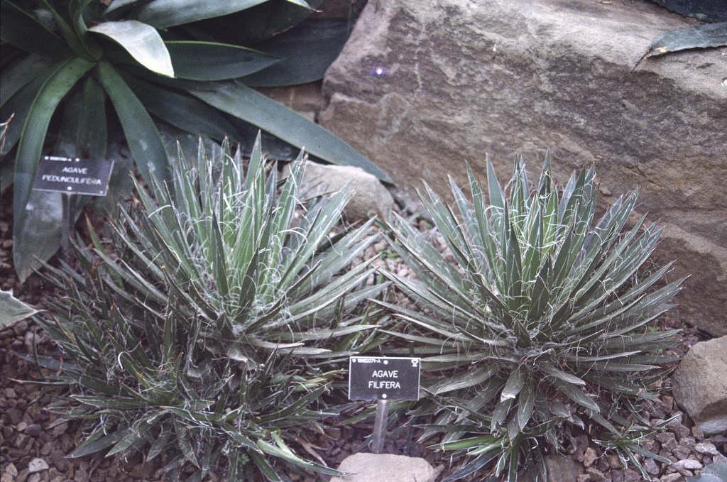 thread agave