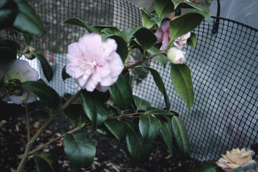 camellia 'Carter's Sunburst'