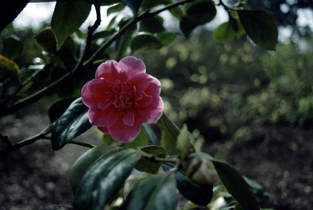 camellia 'Guilio Nuccio'