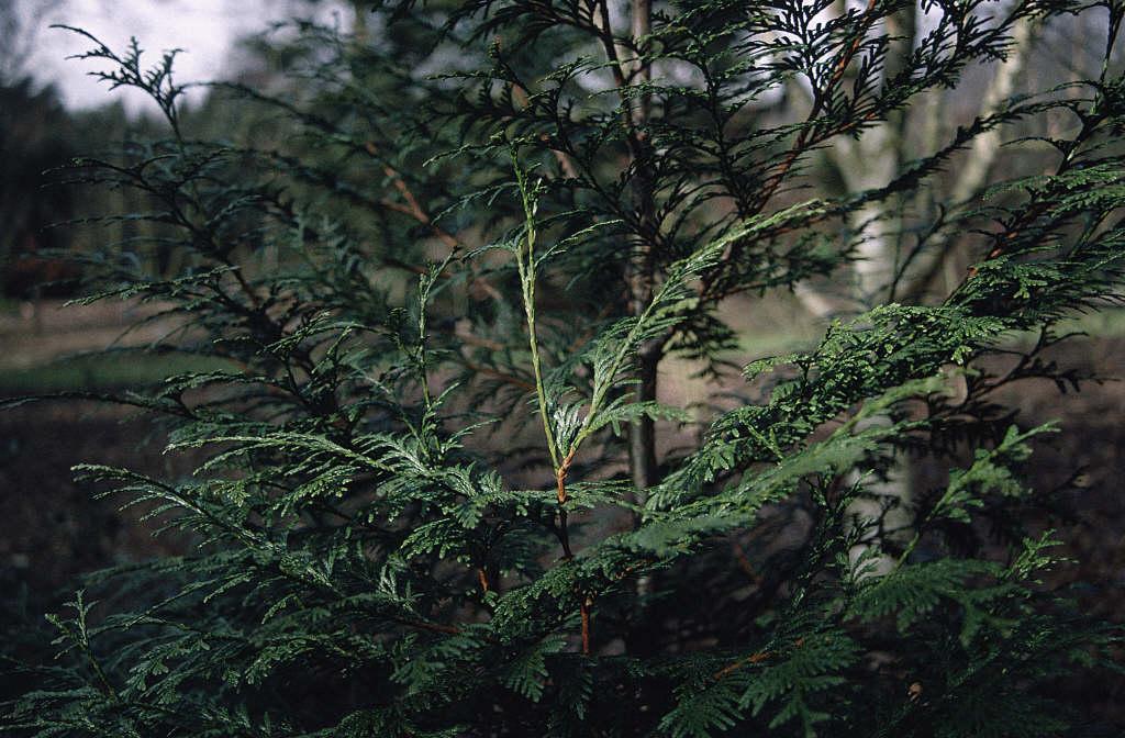 western red cedar 'Atrovirens'