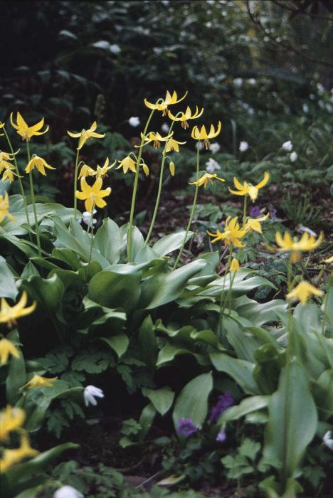 Tuolumne dog's tooth violet