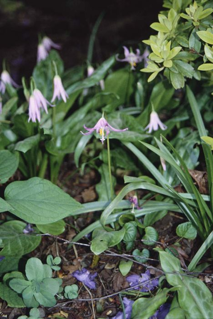 mahogany fawn lily