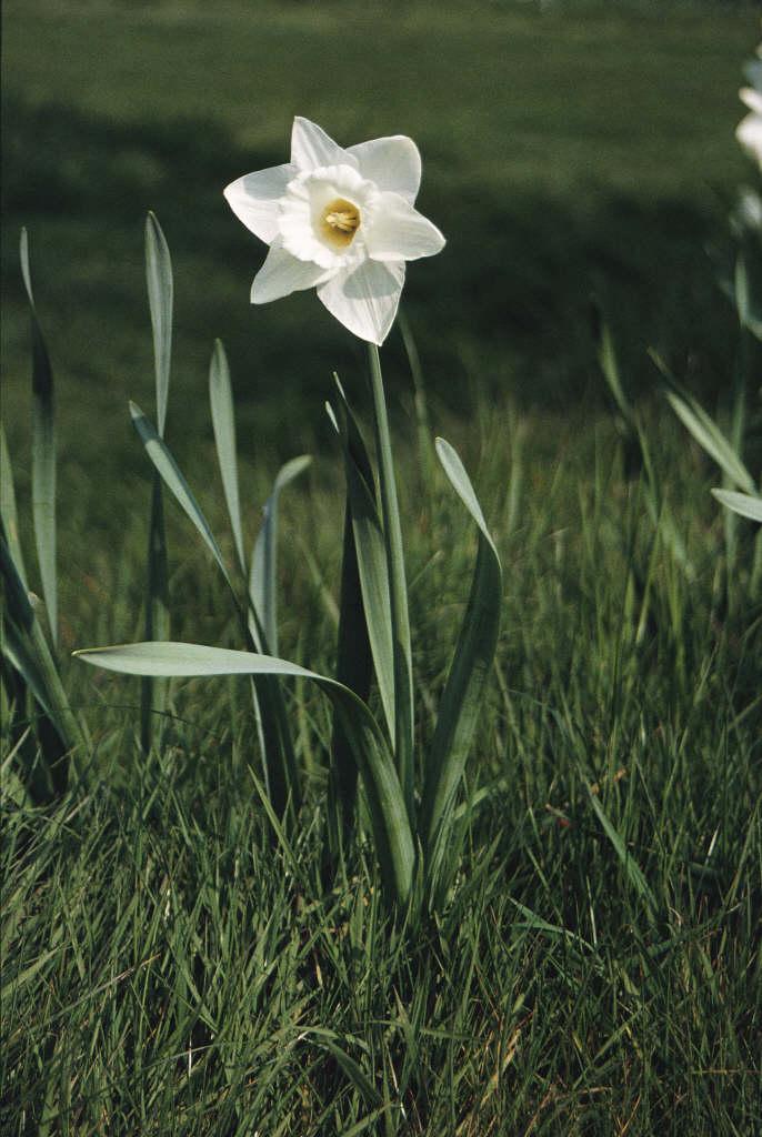 daffodil 'Mount Hood'