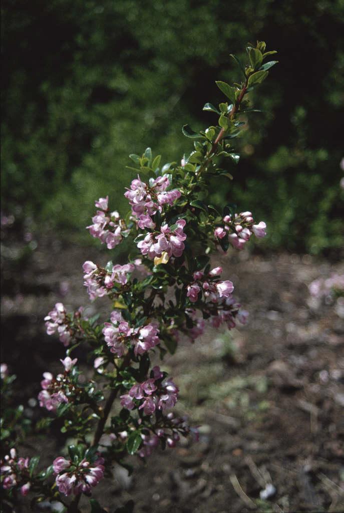 Escallonia apple blossom escallonia apple blossomrhs gardening escallonia apple blossom mightylinksfo
