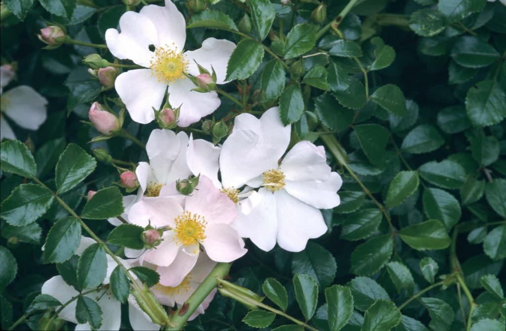 rose [Grouse]