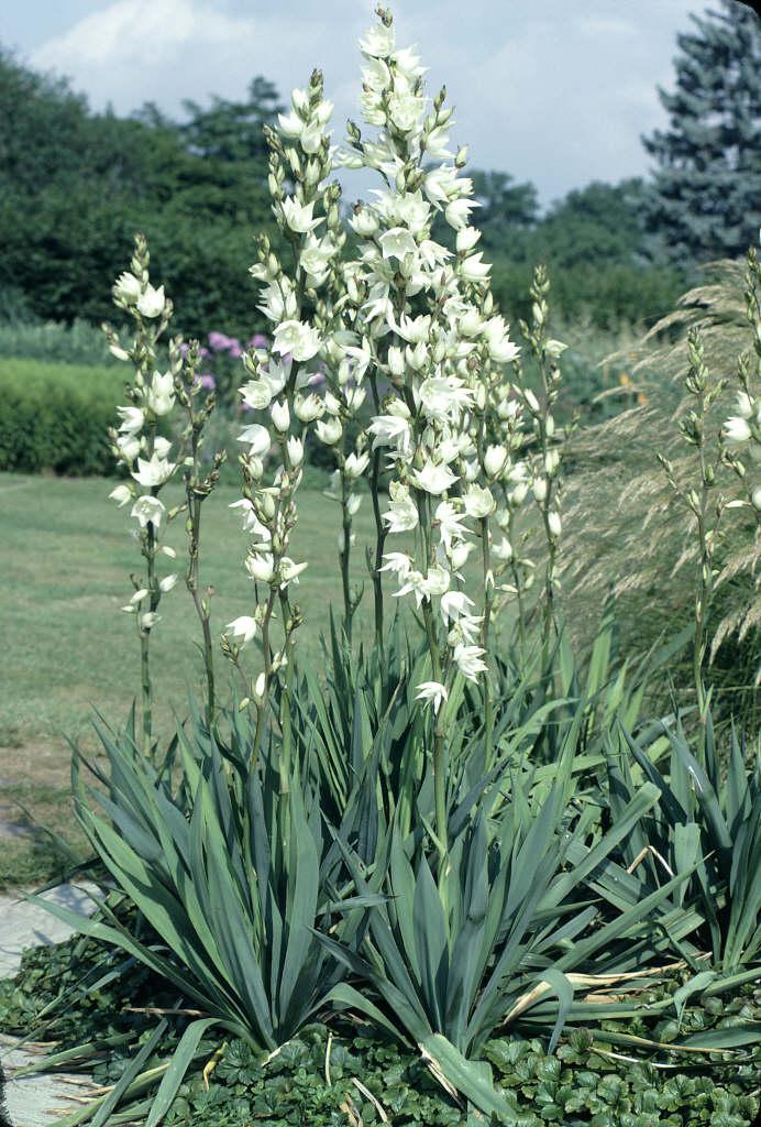 needle palm 'Ivory'