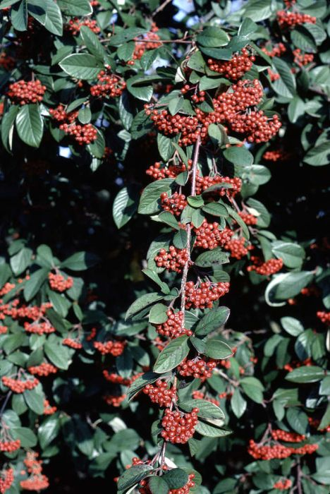 late cotoneaster