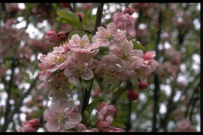 crab apple 'Van Eseltine'